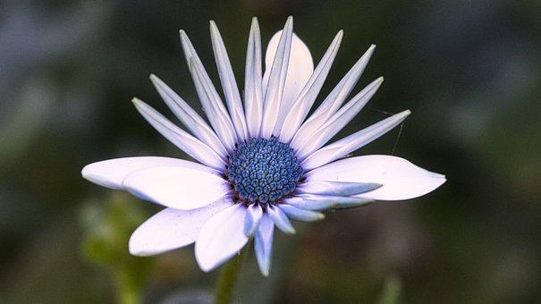 Bornholm Marguerite, Blossom, Bloom, Greeting Card