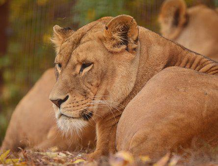 Lion, Zoo, Predator, Feline, Mammal, Dangerous