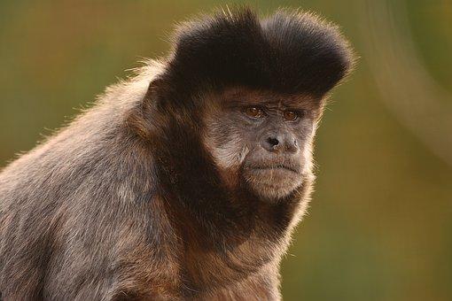 Apell Of Capuchin Monkeys, Zoo, Monkey, Animal World Of