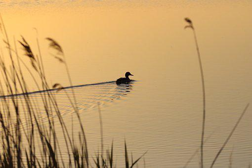 Duck, Lake, Sunrise, Reeds, Swimming, Paddling, Nature