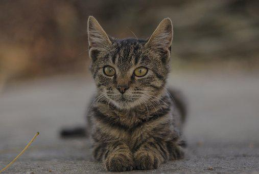 Kitten, Gray, Nature, Portrait, Sweet, Small, Cute
