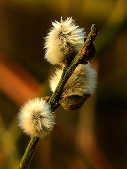 Willow Catkin, Pasture, Kitten, Spring, Plant, Close Up