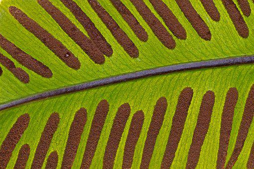 Hart's-tongue Fern, Leaf, Spores, Structure, Pattern
