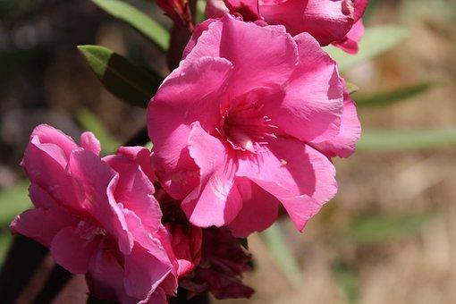 Rose, Pink, Bloom, Nature, Love, Blossom, Romantic