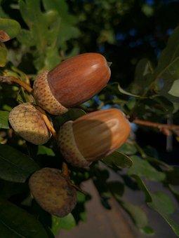 Acorns, Oak, Nature, Autumn, Tree, Leaves, Plant
