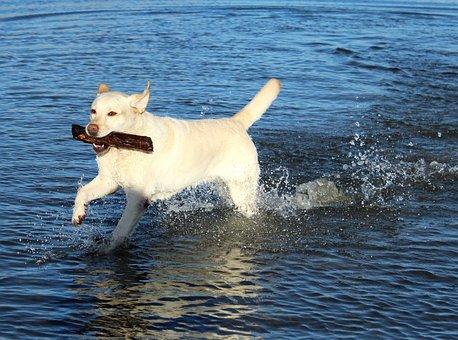 Labrador, Playful, Water, Dog, Pet, Retriever, Play