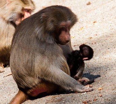 Monkey, Primate, Monkey Nut, Monkey Young, Animal