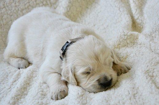 Golden Retriever Puppy, Pup, Puppy Of Three Weeks