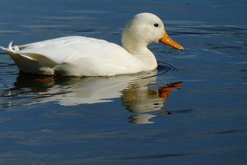 White Duck, Ditch, Waterfront, Feathers, Reflection