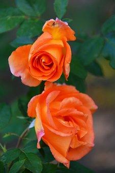 Autumn, Rose, Mood, Romantic, Flower, Garden, Nature