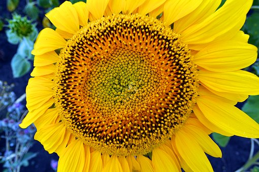 Sunflower, Flowers, Summer, Sun, Bloom, Flora, Garden