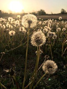 Dandelions, Dandelion, Makeawish, Dandles, Sunrise