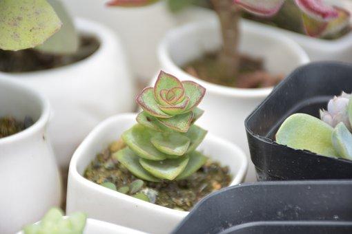 Succulent Plants, The Fleshy, Desert Plants, Plant