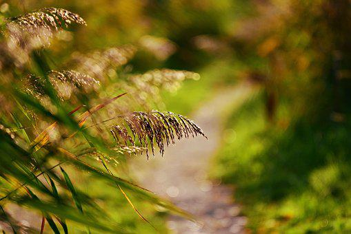 Plume, Reed, Soft, Feathery, Path, Park, Vegetation