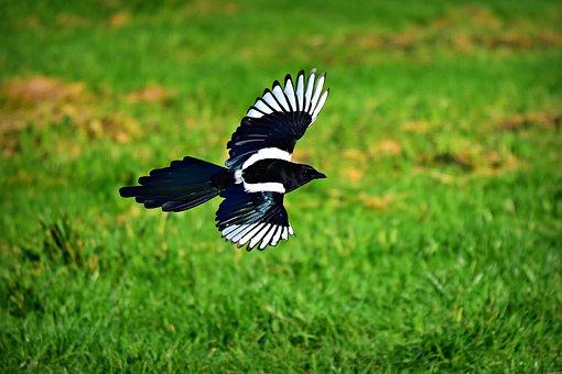 Magpie, Bird, Animal, Corvidae, Wildlife, Flight