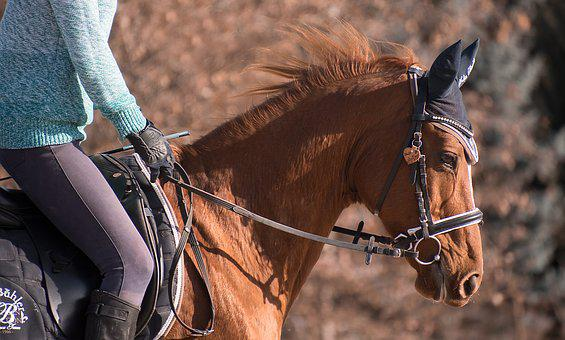 Horse, Animal, Ride, Fuchs, English, Bridle, Reiter