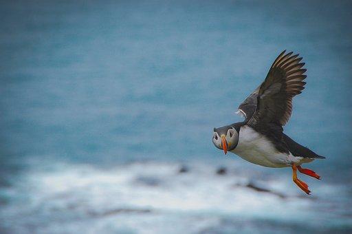 Atlantic Puffin, Bird, Wild, Puffin, Beak, Flight
