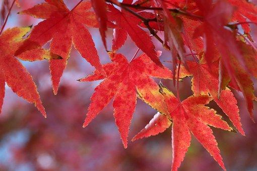 Autumn Leaves, Maple, Autumn, The Leaves, Nature, Leaf