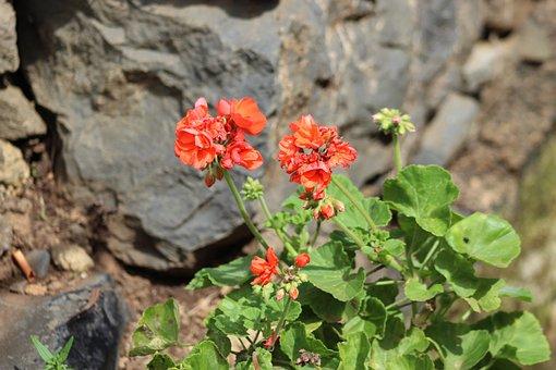 Flowers, Red, Castilleja, Flower, Nature, Beautiful