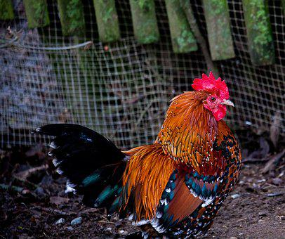 Hahn, Gockel, Poultry, Animal, Animal World, Bird