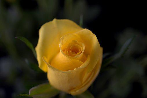 Rose, Love, Yellow, Flower, Blossom, Bloom, Romantic