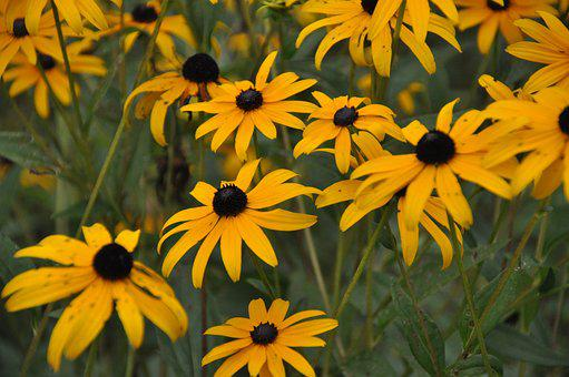 Coneflowers, Flowers, Yellow, Bloom, Summer, Nature