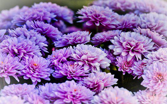 Asters, Bright, Blossom, Bloom, Close Up, Purple