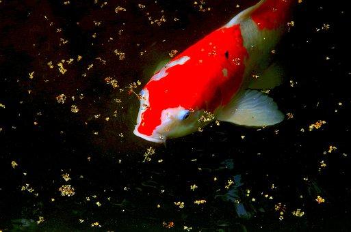 Carp, Pond, Fish, The, Water, Red, Natural, Japan