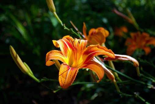 Orange Lily, Orange, Lily, Flower, Floral, Botanical