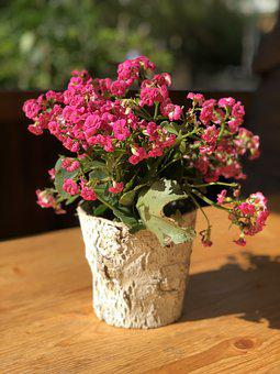 Flowers, Flower Pot, Kalanchoe, Spring, Pink, Nature