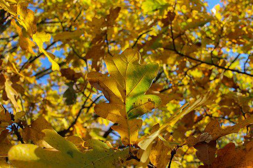 Tree, Leaf, Yellow, Gold, Color, Colorful, Autumn, Sun