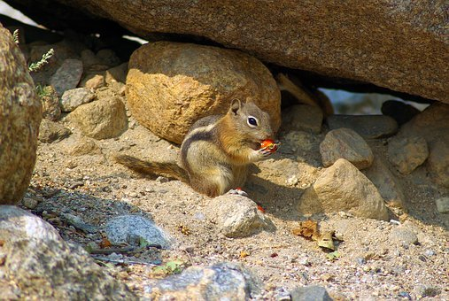 Golden Mantled Ground Squirrel, Ground, Squirrel
