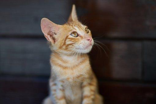 Cat, Animal, Yellow, Fur Leather, Portrait, Head
