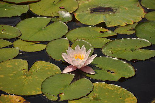 Water, Flower, Pond, Lake, Nature, Summer, Spring, Lily