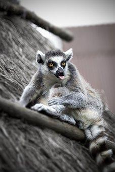 Lemur, Eyes, Madagascar, Fur, Nature, Primate, Stripes