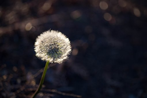 Dandelions, Flowers, Nature, Autumn, Plant, Meadow