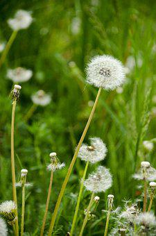 Dandelion, Green, Nature, Summer, Meadow, Flower