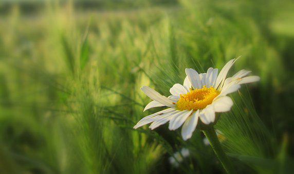 Flower, Meadow, Petals, Daisy, Wild Flowers, Nature