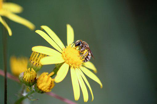 Bee, Flower, Insects, Nature, Bees, Pollen, Nectar