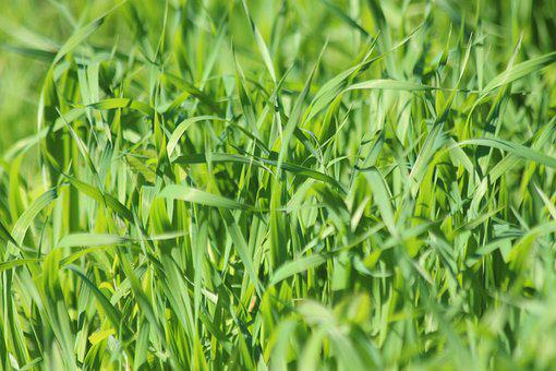 Grass, Oats, Green Oats, Sprouts, Nature