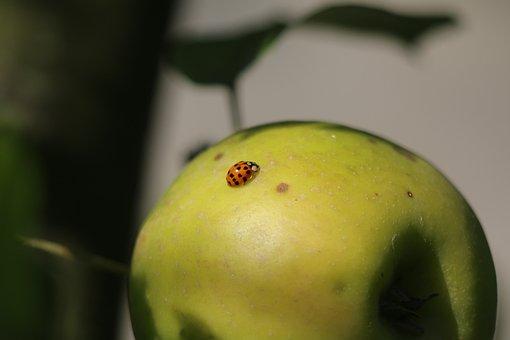 Ladybug, Insect, Nature, Beetle, Orange