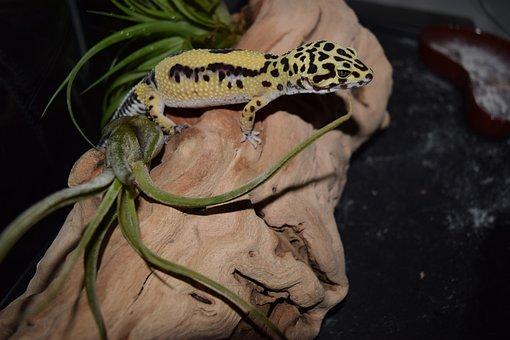 Leopard Gecko, Pet, Pets, Animal, Reptile, Gecko
