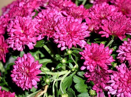Mum Flowers, Vibrant, Pink, Flower, Floral, Plant