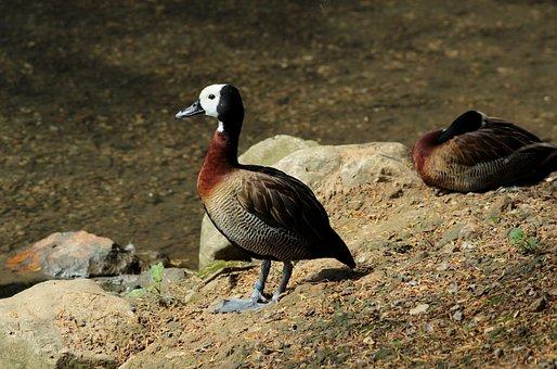 Duck, Waterfowl, Bird, Exotic, Plumage, Zoo