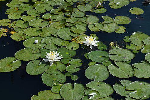 Lilies, Flower, Blossom, Pond, Nature, Water, Nymphaea