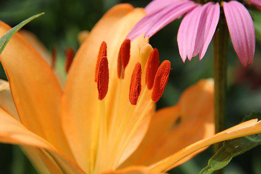 Lily, Flower, Salmon, Nature, Plant, Summer, Garden