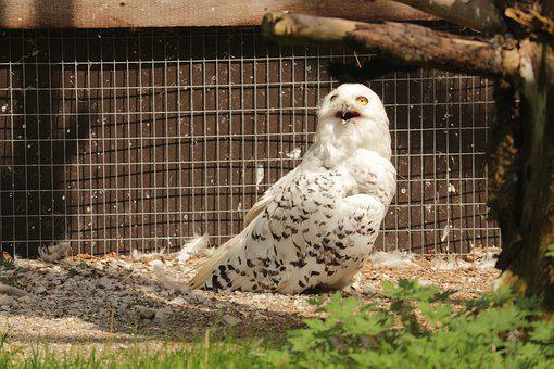 Snowy Owl, Tierpark Berlin-grünau