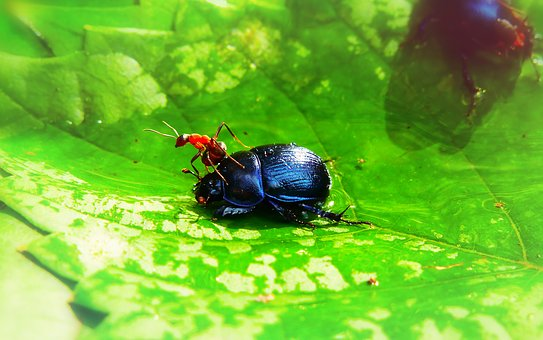 Forest Beetle, The Beetle, Ant Red, Insects, Victim