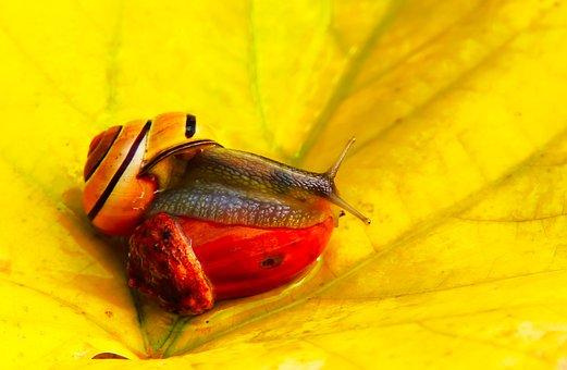 Wstężyk Huntsman, Molluscum, Acorn Oak, Autumn