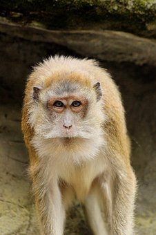 Monkey, Portrait, Furry, Zoo, Mammals, Primates